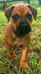 Mastif Cross Puppies 8 weeks old